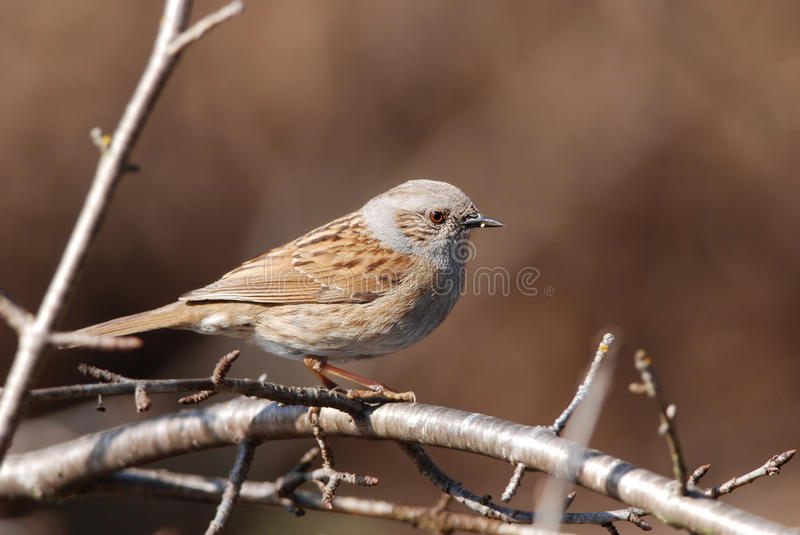 Male Dunnock. On a branch royalty free stock image
