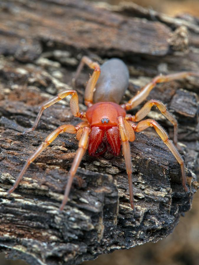 Male Dysdera crocata woodlouse spider. Brightly colored woodlouse spider, Dysdera crocata, facing the camera on bark. Vertical. These spiders have very long stock image