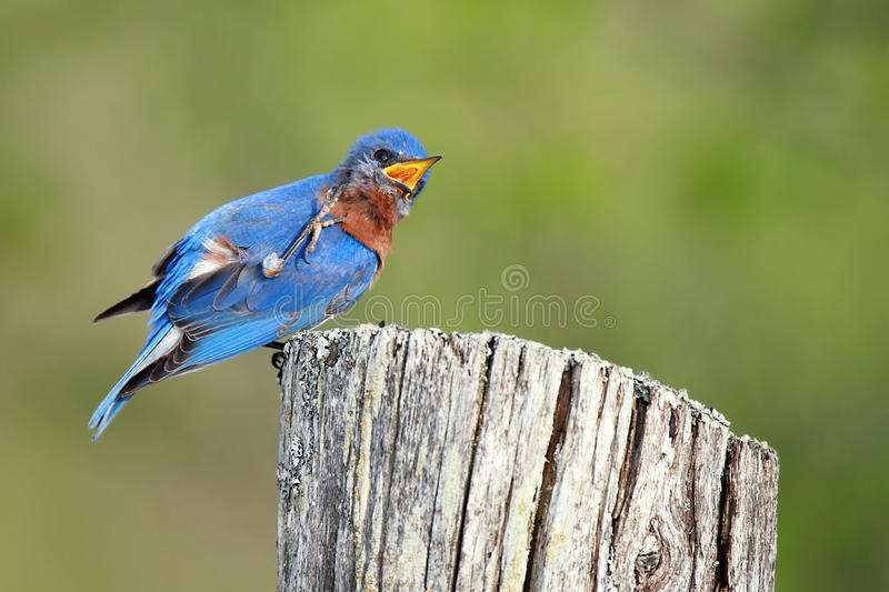 Download Male Eastern Bluebird stock image. Image of humor, songbird - 15840689