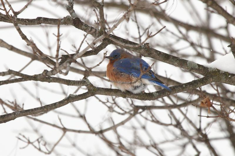 Drowsy Bluebird. A male Eastern Bluebird dozes in a tree on a snow winter day stock photo