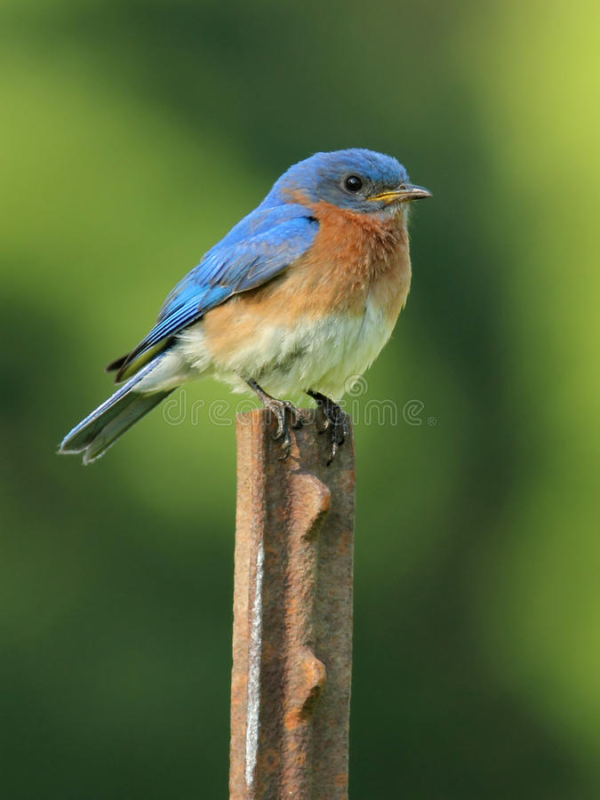 Download Male Eastern Bluebird (Sialia Sialis) Stock Image - Image: 19945071