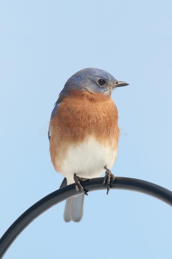 Male Eastern Bluebird Sialia sialis royalty free stock image