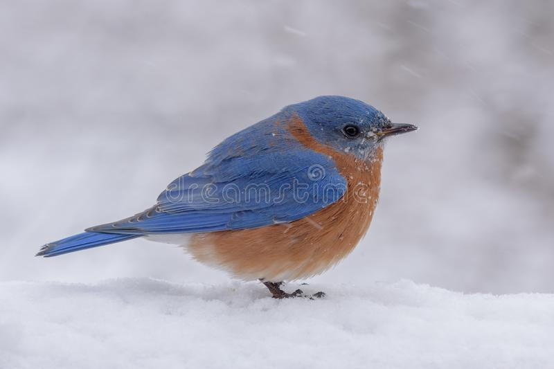 Male Eastern Bluebird in a snow and freezing rain storm. A Male Eastern Bluebird in a snow storm during winter in Pennsylvania. Snow , sleet, and freezing rain