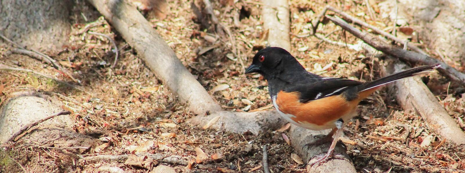 Male Eastern Towhee hunting royalty free stock image