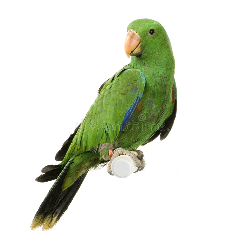 Free Male Eclectus Parrot Stock Photography - 2253142
