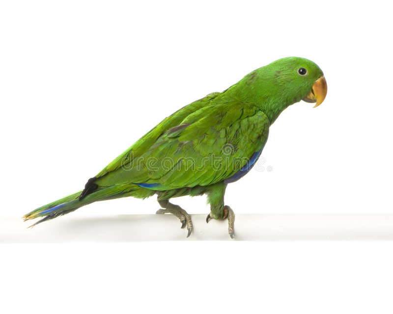 Download Male Eclectus Parrot Royalty Free Stock Image - Image: 2314466