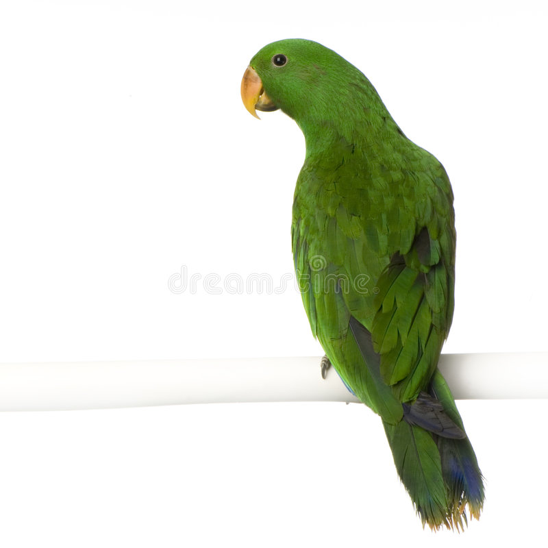 Free Male Eclectus Parrot Royalty Free Stock Photos - 2314468