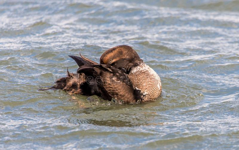 Male Eider Duck all wrapped up stock photo