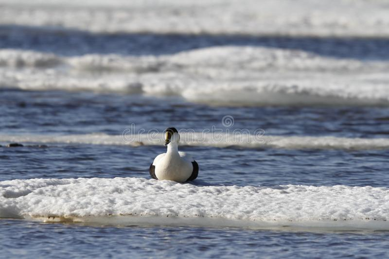Male eider duck sitting on ice floating around in cold icy water. Near Arviat, Nunavut Canada stock photos