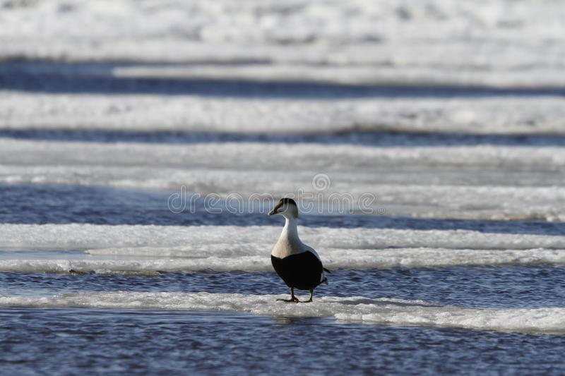 Male eider duck standing on ice floating around in cold icy water. Near Arviat, Nunavut Canada royalty free stock image