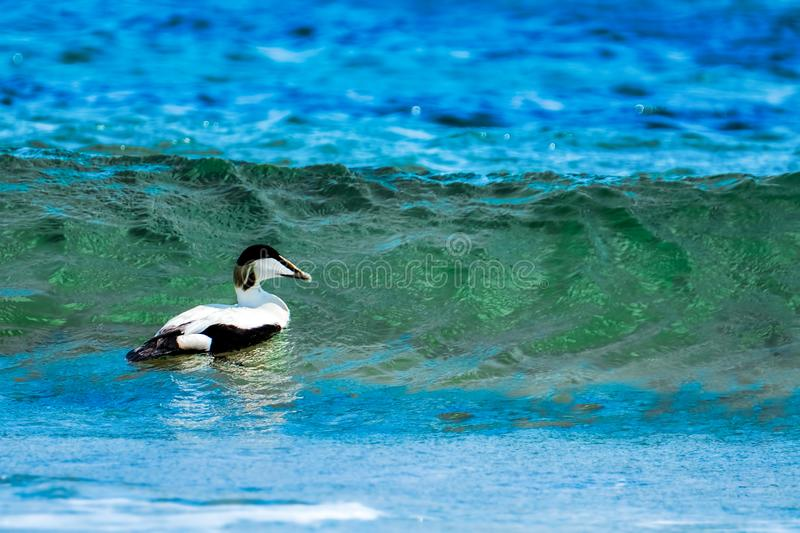 Male eider duck swimming on the ocean stock images