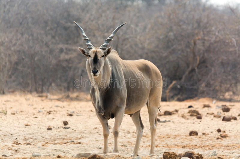 male elan stock image image of animals namibia