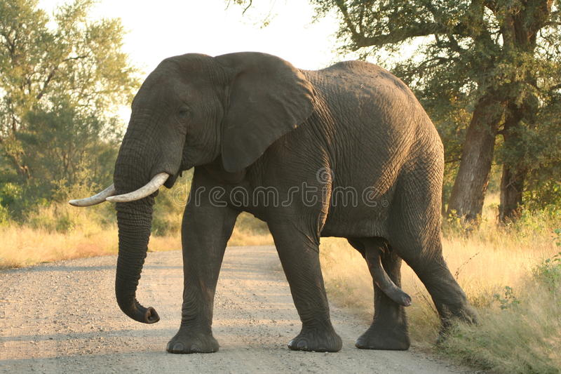 Male elephant royalty free stock photography