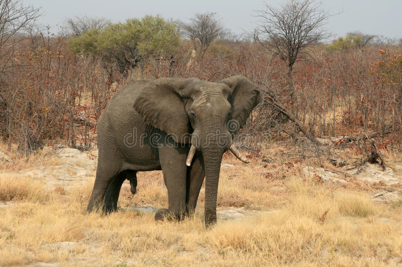 Download Male Elephant Royalty Free Stock Photo - Image: 18965175
