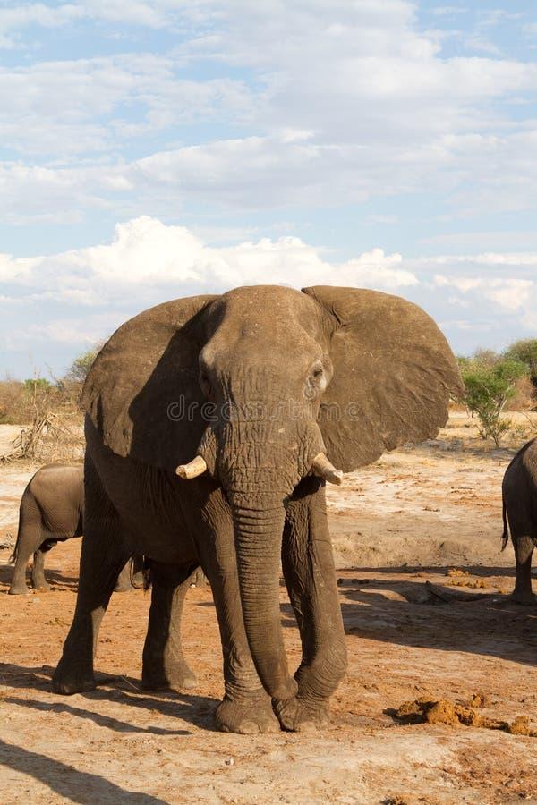 Download Male elephant stock image. Image of bull, mammal, elephant - 27691127