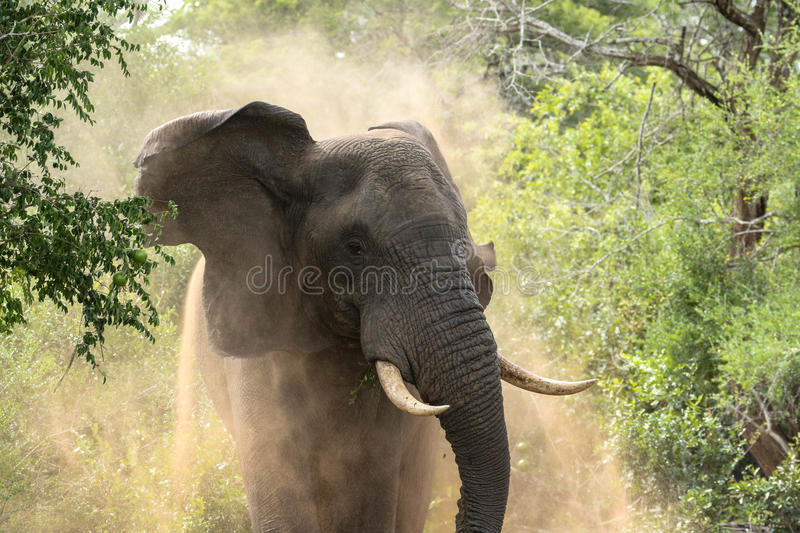 Male Elephant. A male bull elephant showing his anger at being disturbed. Tembe Elephant Park in South Africa stock images