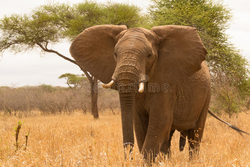 Male elephant close up stock images