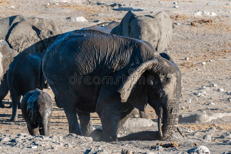 Male elephant near a waterhole in ethosha. A herd of African Elephants -Loxodonta Africana- bathing near the Chudop Waterhole in Etosha National Park, Namibia royalty free stock photo