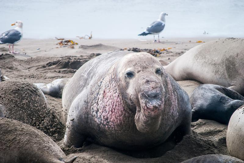 Male Northern Elephant Seal stock photography
