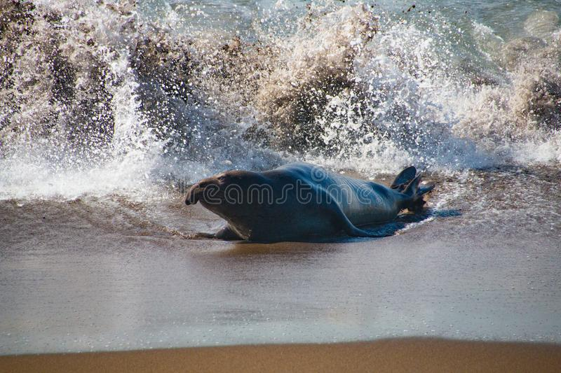 Male elephant seals coming out of the water in USA royalty free stock photo