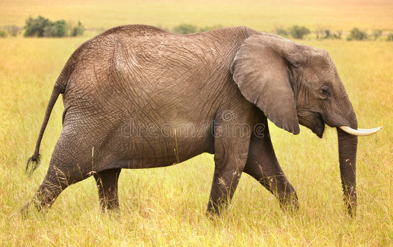 Side profile of an elephant stock images