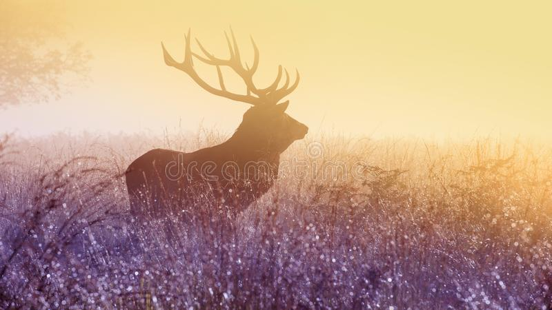 Male elk in field at sunset stock photos