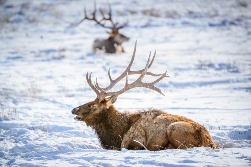 Male Elk, National Elk Refuge stock image