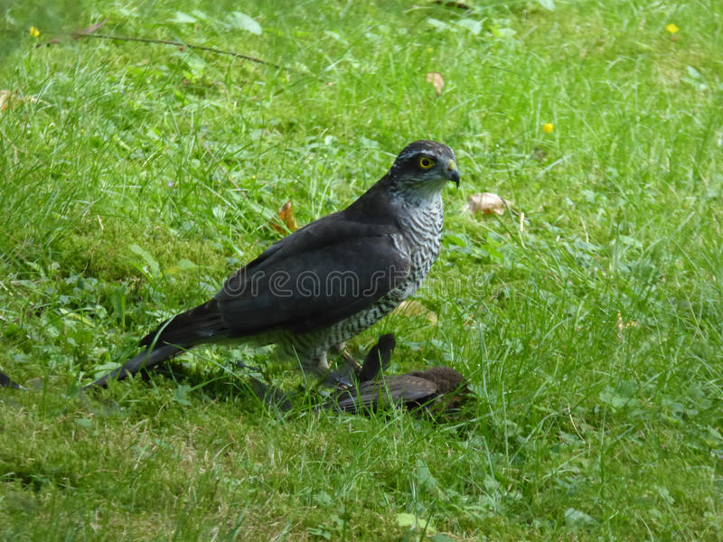 Male Eurasian Sparrowhawk with Prey - Accipiter nisus stock images