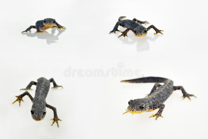 Download Male european alpine newt stock photo. Image of white - 20878060