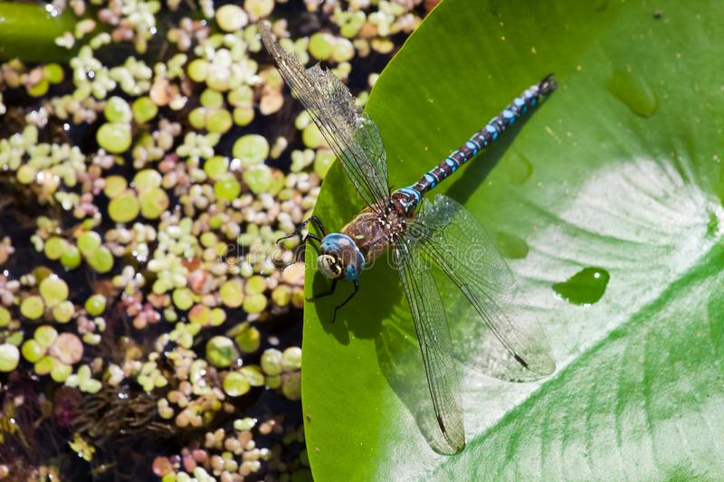 Male of European Blue Emperor Dragonfly Anax imperator resting on a leaf of yellow water lily royalty free stock images
