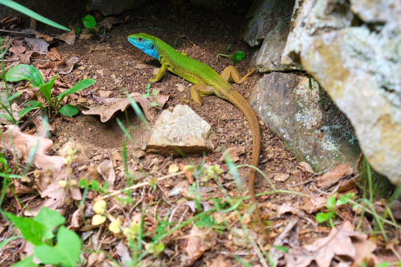 Male European green lizard Lacerta viridis in nature, on the ground near a rock - full length close up. Male European green lizard Lacerta viridis in nature, on royalty free stock images