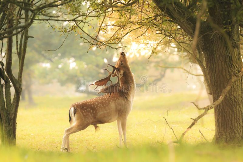 Male fallow deer, Dama Dama, foraging during sunsrise. Proud male fallow deer stag, Dama Dama, with big antlers foraging for leaves and berries in a dark green stock images