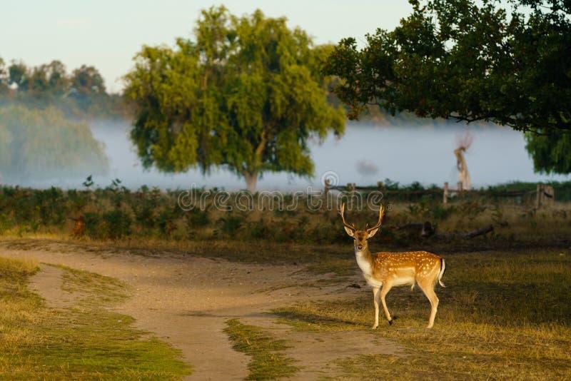 Male Fallow Deer (Dama dama), taken in UK royalty free stock photo