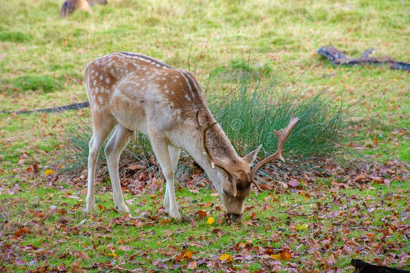Male fallow deer eating grass on the ground royalty free stock images