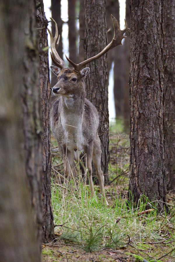Male Fallow deer in the forest stock photography
