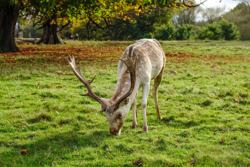 Male fallow deer grazing in parkland royalty free stock photography