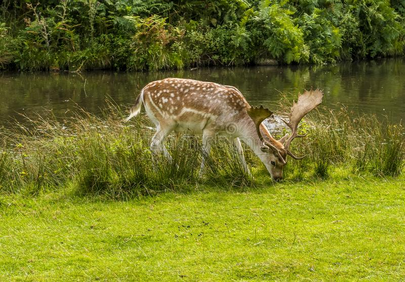 A male fallow deer beside the River Lin in Bradgate Park, Leicestershire, royalty free stock image