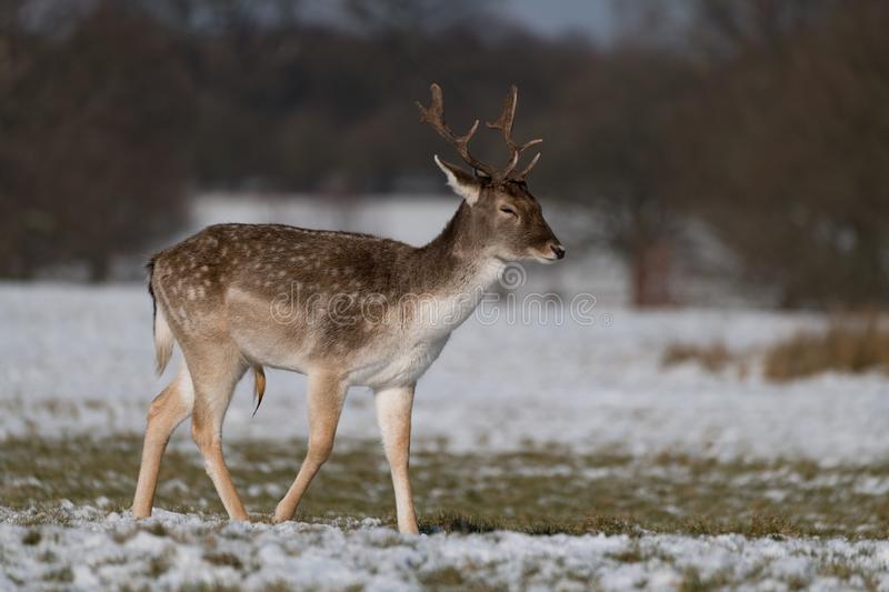 Male fallow deer walking through snowy park royalty free stock photography