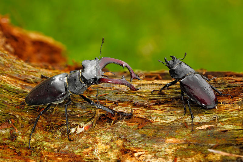 Male and famale of insect. Stag beetle, Lucanus cervus, big insect in the nature habitat, old tree trunk, clear orange. Background, Czech royalty free stock photo