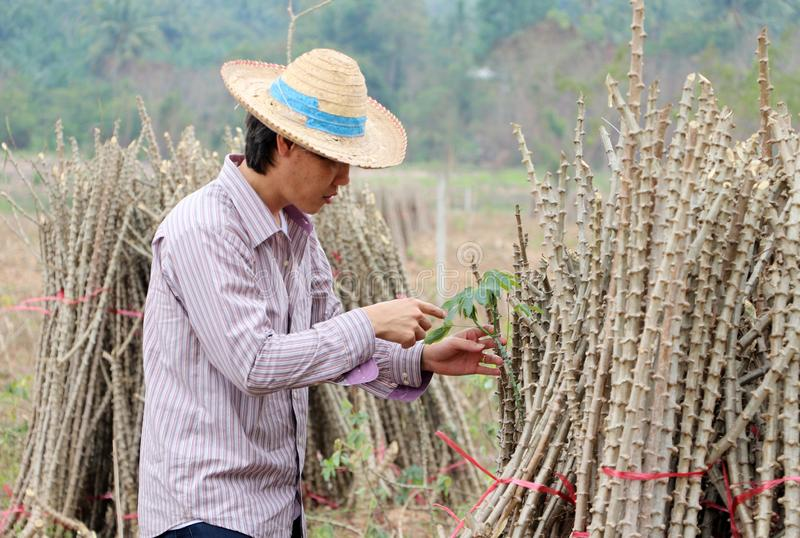 Male farmer Catching  leaf stalk of tapioca plant with tapioca limb that cut the stack together in the  farm stock images
