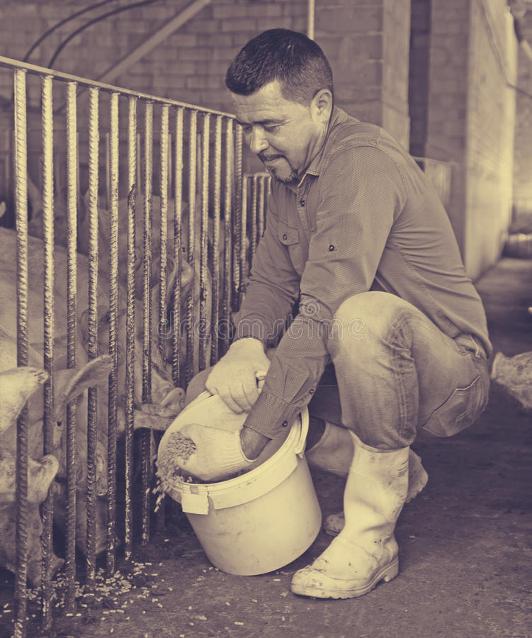 Male farmer giving pelleted food to hogs. Smiling male farmer giving pelleted food to hogs through fence in hangar royalty free stock photos