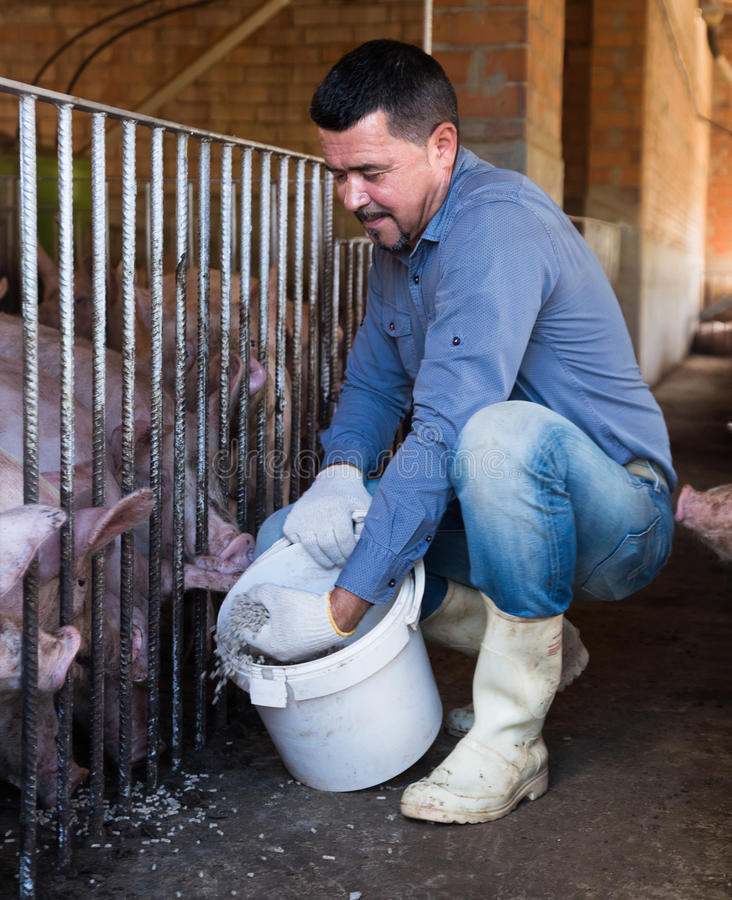 Male farmer giving pelleted food to hogs. Smiling male farmer giving pelleted food to hogs through fence in hangar stock image