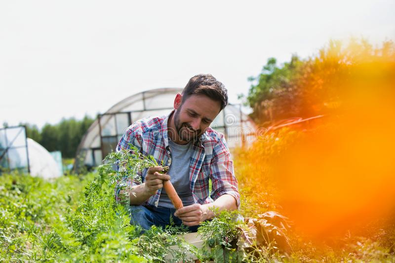Attractive male farmer harvesting carrots on his organic farm with greenhouse in background. Male farmer harvesting carrots on his organic farm with greenhouse stock photos