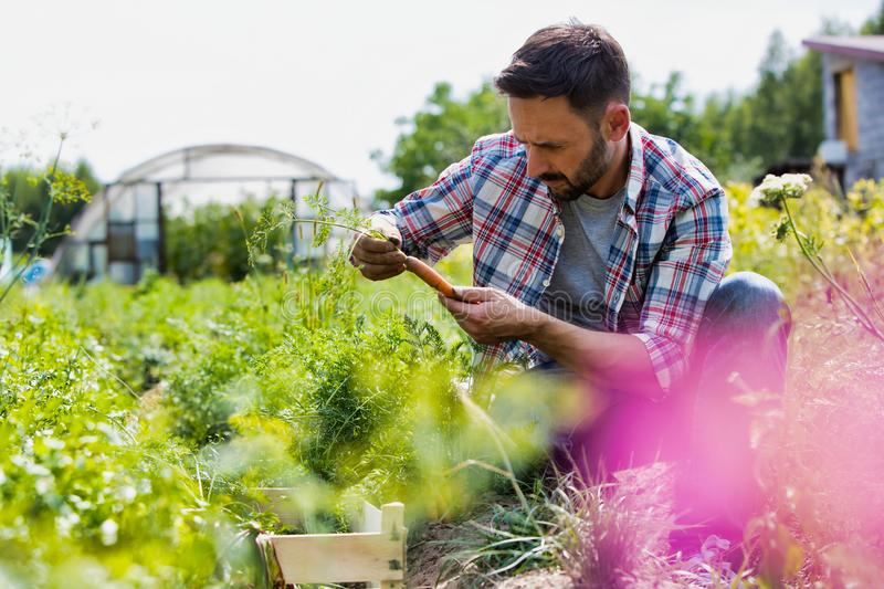 Attractive male farmer harvesting and inspecting his carrots on his organic farm with greenhouse in background. Male farmer harvesting and inspecting his carrots stock image