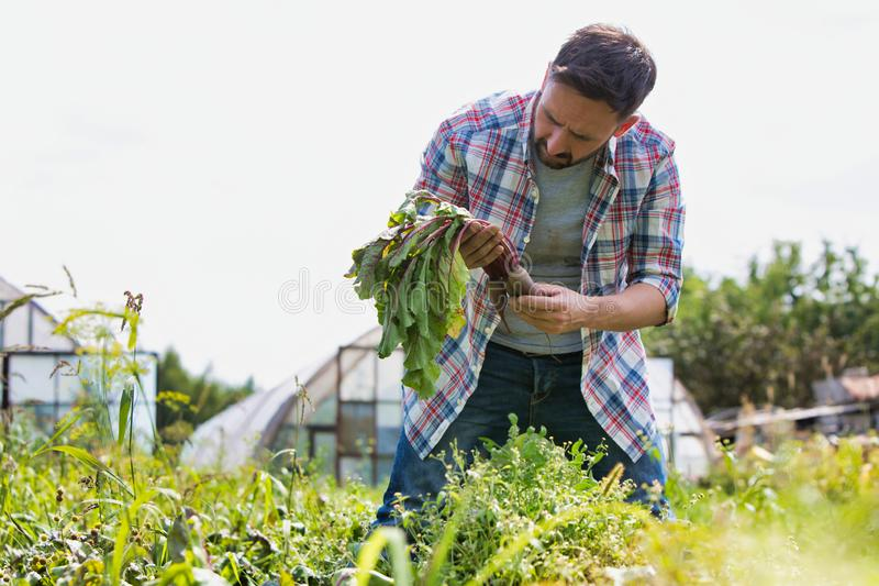 Attractive male farmer harvesting purple beets on his organic farm with greenhouse in background. Male farmer harvesting purple beets on his organic farm with stock photography