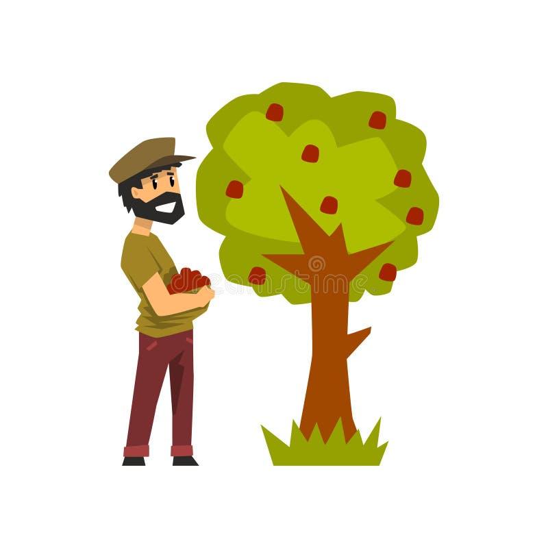 Male farmer picking red apples from tree, gardener at work vector Illustration on a white background stock illustration