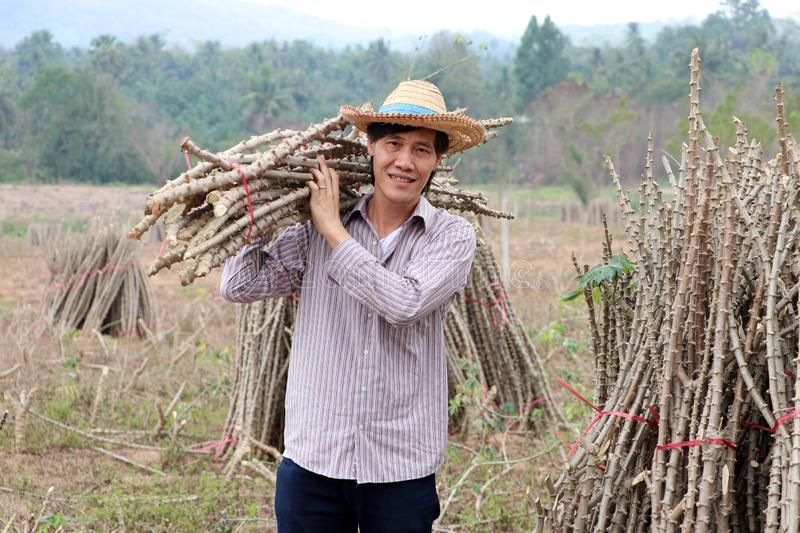 Male farmer standing and shoulder  tapioca limb that cut the stack together in the farm stock photography