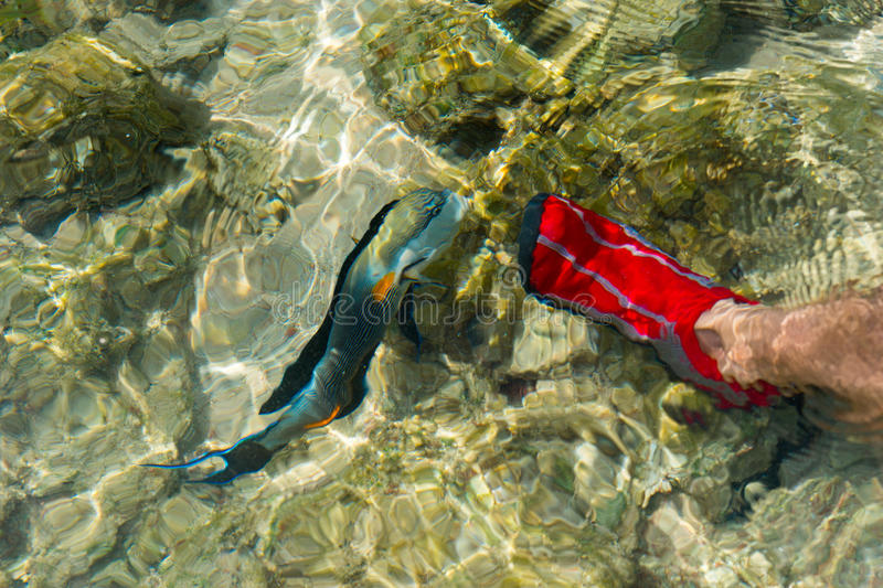 Male feet in red aqua shoes near swims surgeon fish between reef royalty free stock image