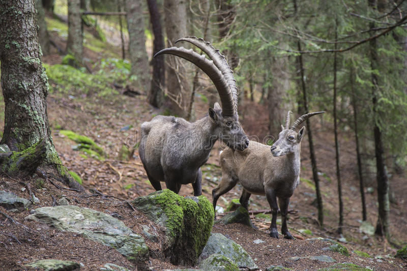 Male and female alpine ibex royalty free stock photos