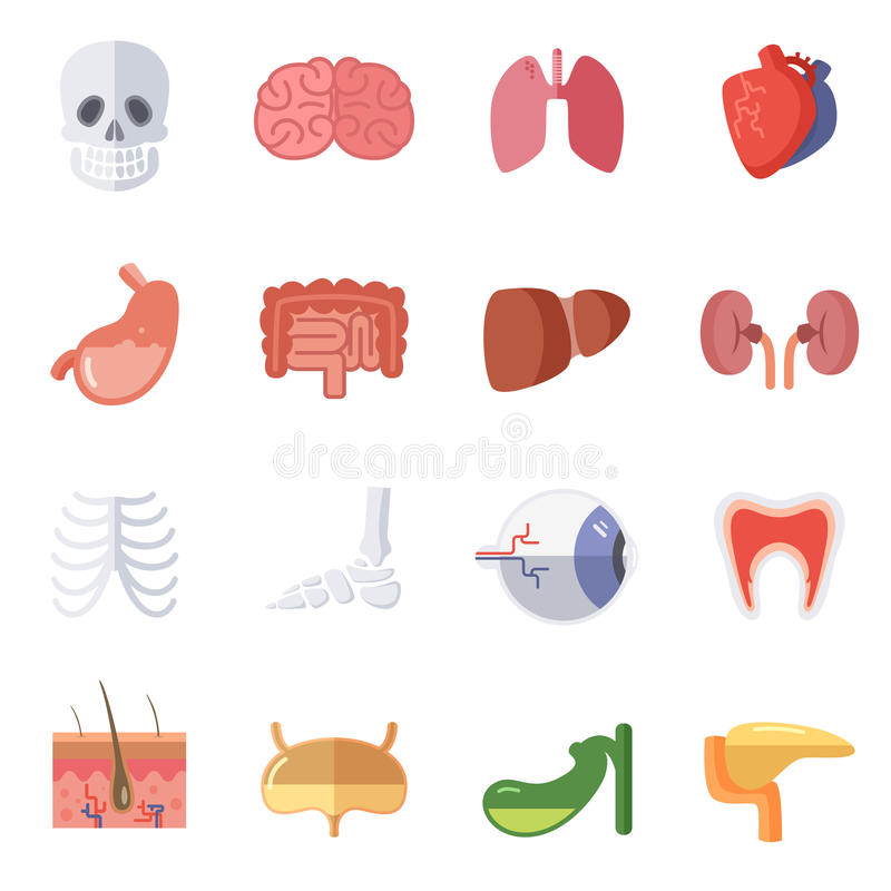 Male and female anatomy. Vector illustration set of human organs vector illustration